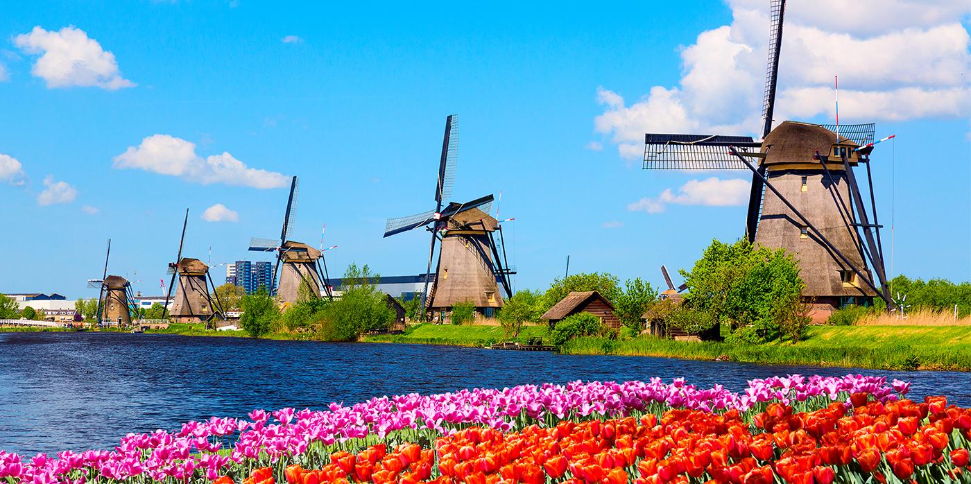tulip field and windmills in Amsterdam